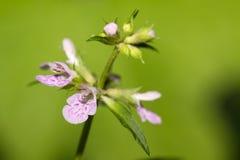 Labiatae flowers motherwort Stock Image
