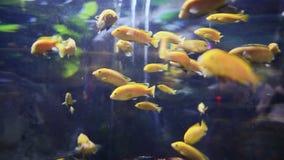 Labidochromis Caeruleus Fishes In Underwater Aquarium. Labidochromis Caeruleus Fishes. Underwater Aquarium in Dubai Mall stock video