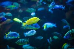 Labidochromis caeruleus - lemon yellow lab. Fish Labidochromis caeruleus - lemon yellow lab royalty free stock photos
