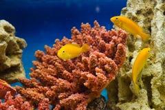 Labidochromis caeruleus yellow (Лабидохромис елл. Photo of exotic fish in home aquarium Royalty Free Stock Photos