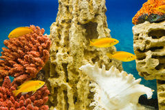 Labidochromis caeruleus yellow (Лабидохромис елл. Photo of exotic fish in home aquarium Stock Images