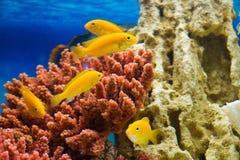 Labidochromis caeruleus yellow (Стайка лабидохро. Photo of exotic fish in home aquarium Stock Images