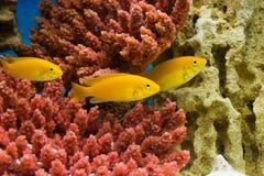 Labidochromis caeruleus yellow. Photo of exotic fish in home aquarium Stock Photos