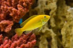 Labidochromis caeruleus yellow. Photo of exotic fish in home aquarium Royalty Free Stock Photos