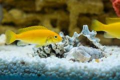 Labidochromis caeruleus yellow. Photo of exotic fish in home aquarium Stock Image