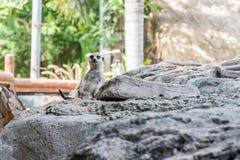 The Meerkat or Suricate at the Bali Safari & Marine Park stock photos