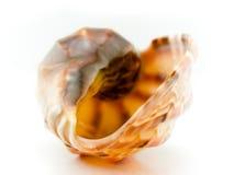 Labios de una concha de berberecho del mar Foto de archivo