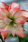 Labios rojos fotografía de archivo libre de regalías