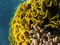 Labirint coral Royalty Free Stock Photography