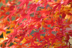 Labirinto das folhas de Autumn Maple do japonês Fotos de Stock