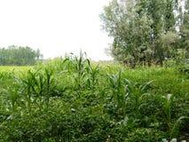 Labirinto del cereale - fioritura di Kashmir Valley Immagini Stock Libere da Diritti