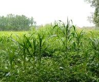 Labirinto del cereale - fioritura di Kashmir Valley Immagine Stock