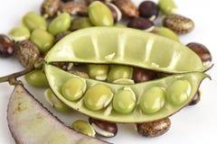 Lablab bean or Dolichos bean (Dolichos lablab Linn.) Royalty Free Stock Photo