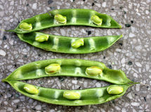 Cyamopsis tetragonaloba, Guar bean, Cluster bean. Erect herb with trifoliate leaves, rose colored flowers and longitudinally ribbed beaked pods stock photography