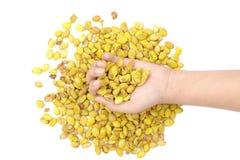 Lablab purpureus bean on hand Stock Photos