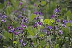 Lablab purpureus L., Pawata, Papilionaceae, Leguminosa. Fowers of Lablab purpureus L. Pawata, Papilionaceae, Leguminosae, Papilionoideae, Fabaceae Royalty Free Stock Photos