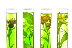 Labor, Rosa, Geißblatt, Distel und Löwenzahn in der Testwanne Lizenzfreie Stockfotos