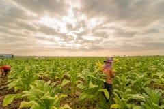 Labor working in tobacco farmland. Remove tobacco leaf Stock Image