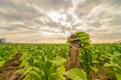 Labor working in tobacco farmland. Remove tobacco leaf Stock Photo