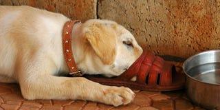Laboratório 02 do filhote de cachorro Imagens de Stock Royalty Free