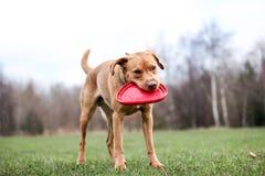 Laboratório do Fox e seu frisbee Imagem de Stock Royalty Free