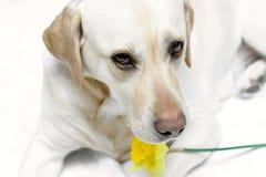 Laboratório e Daffodil mim fotos de stock