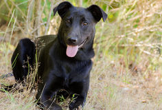 Laboratoire noir Jack Russell Mixed Breed Dog Photographie stock