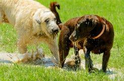Laboratorio del perro lobo irlandés y del chocolate que juega en charco de fango en parque Foto de archivo libre de regalías