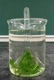 Laboratoriumexperiment: observatie van het fenomeen van ademhaling van aquatische installatiecabomba Stock Afbeelding