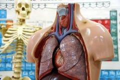 Laboratory. Anatomy lab with human skeleton Royalty Free Stock Image