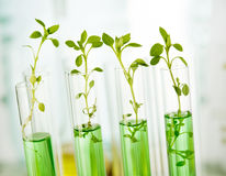 Laboratory analysis of plant. Genetically modified plants. Plant seedlings growing inside of test tubes Royalty Free Stock Photo