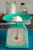 Laboratory animal. In physiological research Stock Photography