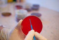 Laboratory doctor holding inoculation loop and petri dish. Medical laboratory concept Royalty Free Stock Photos