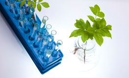 Laboratory glassware, genetically modified plant Royalty Free Stock Photography