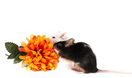 Laboratory little mouse with orange flower Stock Image