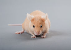 Laboratory mouse Royalty Free Stock Photos