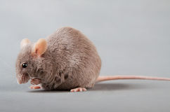 Laboratory mouse Stock Photos