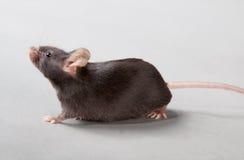 Laboratory mouse. Black laboratory mouse isolated on grey background stock image