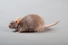 Laboratory mouse Royalty Free Stock Photo