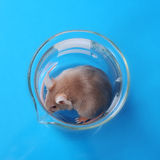 Laboratory mouse. Little fancy mouse in a beaker on blue paper background royalty free stock photo