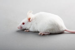 Laboratory mouse Royalty Free Stock Photography