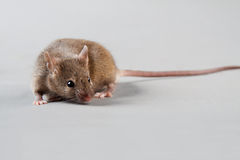 Laboratory mouse Royalty Free Stock Images