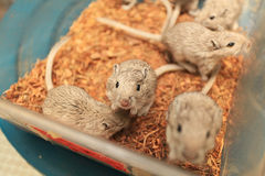Laboratory mouse. The laboratory mouse is a small mammal of the order Rodentia which is bred and kept for scientific research. Laboratory mice are usually of the Royalty Free Stock Photography