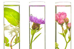 Laboratory, Pink, honeysuckle, thistle and dandelion in test tub Stock Photo