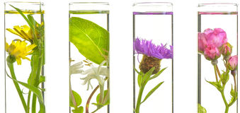Laboratory, Pink, honeysuckle, thistle and dandelion in test tub Royalty Free Stock Image
