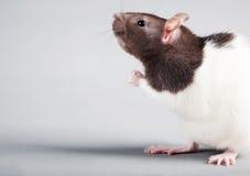 Laboratory rat Stock Photos