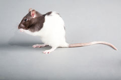 Laboratory rat Royalty Free Stock Photography