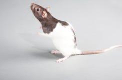 Laboratory rat. Brattleboro laboratory rat isolated on grey background Royalty Free Stock Photos