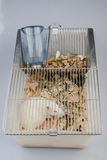 Laboratory rat Stock Images