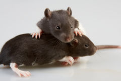 Laboratory rat royalty free stock images